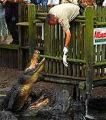 Feeding Time at the Alligator Farm