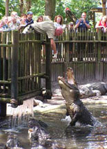 Alligator Feedings